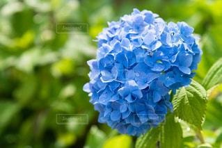 紫陽花の写真・画像素材[2205181]