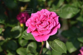 ピンクのバラの写真・画像素材[2208972]