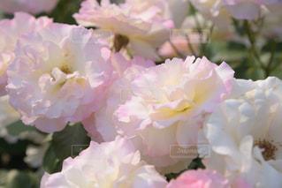 ピンクのバラの写真・画像素材[2208975]