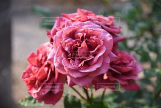 赤いバラの写真・画像素材[2208976]