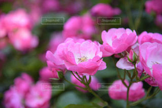ピンクの花々の写真・画像素材[2208977]