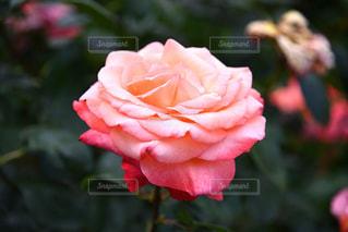 ピンクのバラの写真・画像素材[2208981]