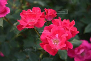 赤いバラの写真・画像素材[2208982]