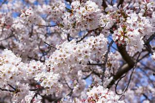 桜の写真・画像素材[2245657]