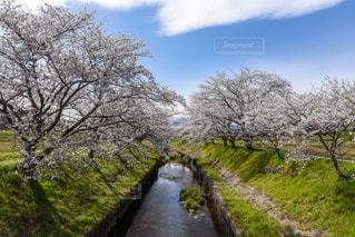 桜並木の写真・画像素材[2245662]