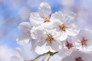 サクラの花びらの写真・画像素材[2245669]