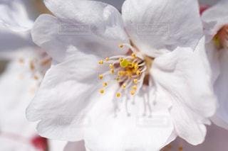 サクラの花びらの写真・画像素材[2245670]