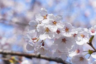 桜の花の写真・画像素材[2245693]