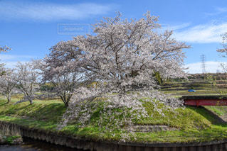 桜の木の写真・画像素材[2245694]