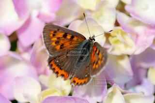 アジサイと蝶々の写真・画像素材[2245726]
