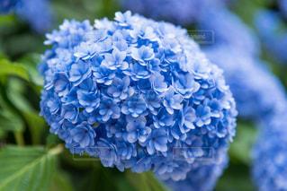 青いあじさいの写真・画像素材[2245734]