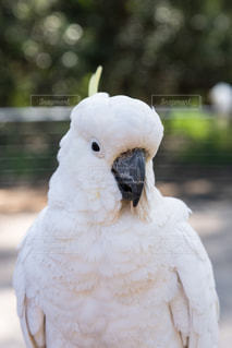Sulphur Crested Cockatooの写真・画像素材[2697636]