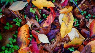 カラフルな落ち葉の写真・画像素材[1646415]