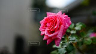 一輪の薔薇の写真・画像素材[1646416]