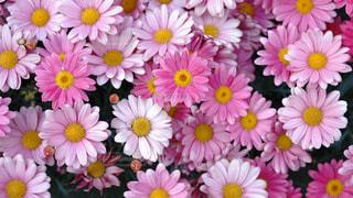 ピンクのマーガレットの写真・画像素材[2048971]