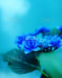 薔薇のような花びらを持つ紫陽花の写真・画像素材[2188438]