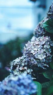枯れていく紫陽花の写真・画像素材[2318146]