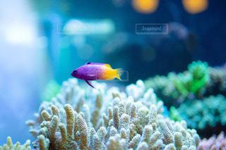 熱帯魚と珊瑚礁のアクアリウムの写真・画像素材[2442297]
