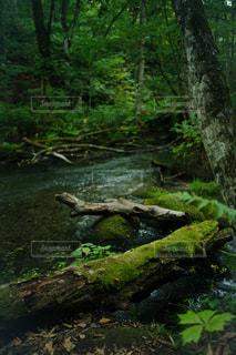 奥入瀬の渓流に倒れこんだ樹木の写真・画像素材[2469727]