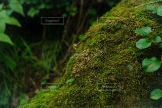 岩に生えた苔の写真・画像素材[2469733]