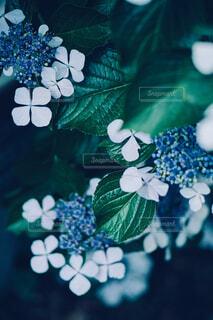 ポスター等に最適な紫陽花のクローズアップの写真・画像素材[4555868]