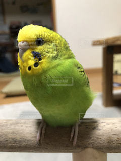 セキセイインコ 黄色緑の写真・画像素材[2201251]