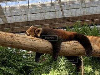 お昼寝中のレッサーパンダの写真・画像素材[2201280]