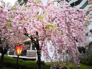 植物のピンクの花の写真・画像素材[2209198]
