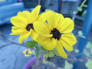 黄色の花の写真・画像素材[1675378]