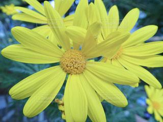 黄色のお花の写真・画像素材[1675380]