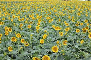 ひまわり畑の写真・画像素材[2242334]