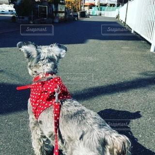 犬の写真・画像素材[87100]