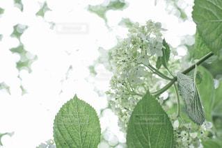 雨の日の紫陽花の写真・画像素材[2207963]
