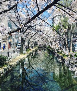 桜 (高瀬川 京都)の写真・画像素材[2205810]