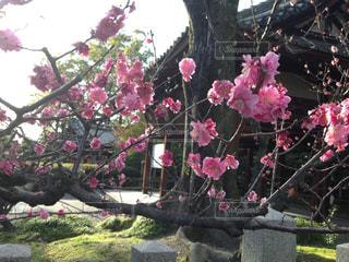 桜の写真・画像素材[2212214]