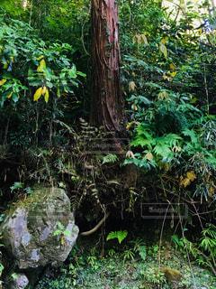 吾妻峡 貫禄のある木の写真・画像素材[2217320]