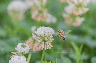 ミツバチとシロツメクサの写真・画像素材[2208147]