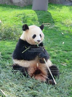 パンダ、食事中の写真・画像素材[2208081]
