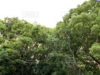 森の中の大きな木の写真・画像素材[2211094]