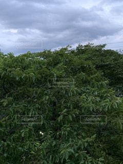森の中の大きな木の写真・画像素材[2211096]
