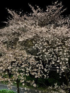 夜桜の写真・画像素材[4768443]