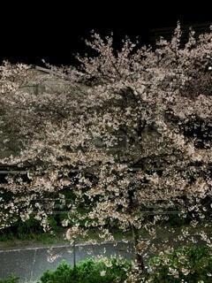 夜桜の写真・画像素材[4768451]