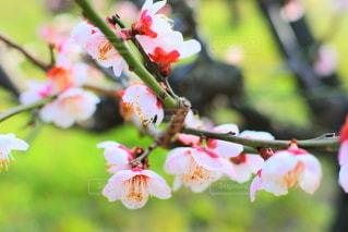 梅の写真・画像素材[2211370]