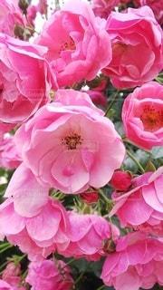これも薔薇の写真・画像素材[2217687]