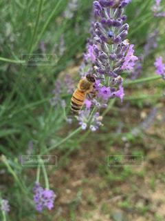ラベンダーと蜜蜂の写真・画像素材[2272438]