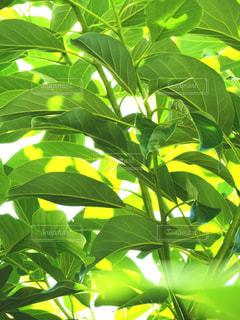 アボカドの葉の写真・画像素材[2215092]