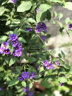 風に揺れる紫の花の写真・画像素材[2232296]