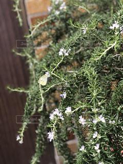 ローズマリーの花とモンシロチョウの写真・画像素材[2235596]