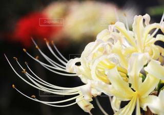 白花のリコリスの写真・画像素材[2216276]