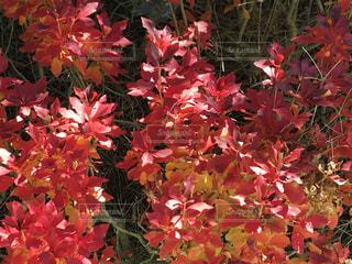 紅葉したドウダンツツジの写真・画像素材[2216277]